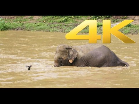 An elephant tried to rescued a baby who was separated during bath time (4K video UHD)