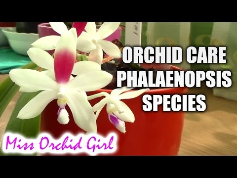 Orchid care - How to care for Phalaenopsis summer blooming species