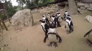 funny penguins / смешные пингвины