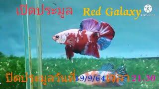 สงกรานต์. เปิดประมูล  Red  Galaxy        ปิดประมูลวันที่ 19/9/64. เวลา21.30