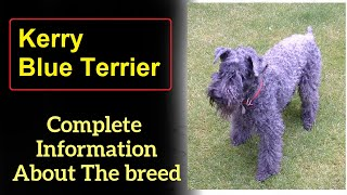 Kerry Blue Terrier. Pros and Cons, Price, How to choose, Facts, Care, History