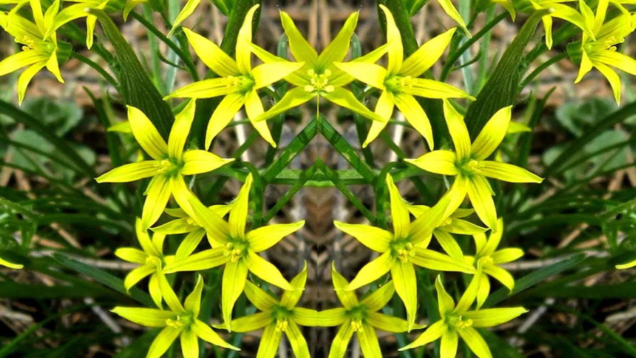 Фото цветка гусиного лука