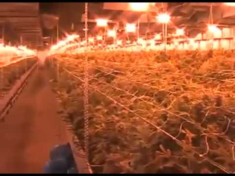 Polish cops find huge cannabis growing operation