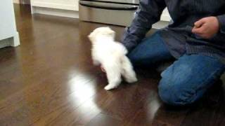 Thomas the maltese puppy learning new tricks