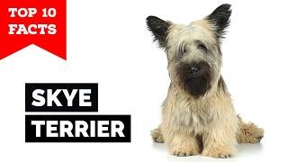 Skye Terrier  Top 10 Facts