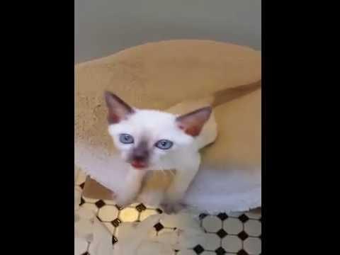 Aristotonks Tonkinese Cats