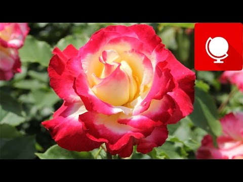 10 Most Beautiful Roses In The World