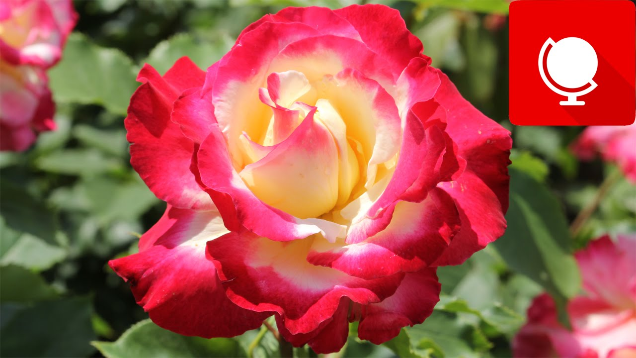 10 Most Beautiful Roses In The World YouTube