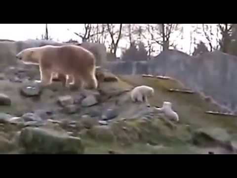 IJsberenbaby's Blijdorp zetten eerste stapjes buiten