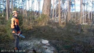 pilarz  MAKKENZI  ścina  magiczne  drzewo  -  MAGIC  TREE  POLAND