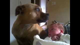 """Best """"staffordshire Bull Terrier"""" Ever With """"jack Russell"""", """"cats"""" And Our """"baby Boy"""""""