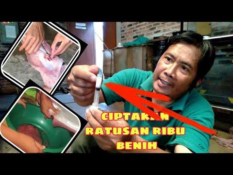 Kawin Lele Tercangih Di Indonesia// Catfish Breeding