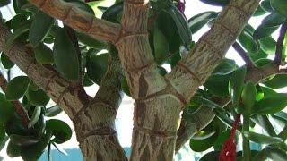 Денежное дерево приносит доход(Как поливать денежное дерево летом, которое находится на улице. Регулярно чистим монетки до блеска и ложем..., 2014-07-14T07:35:43.000Z)