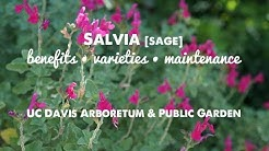 They LOOK and SMELL GREAT! Salvia (sage): Benefits, Varieties & Maintenance