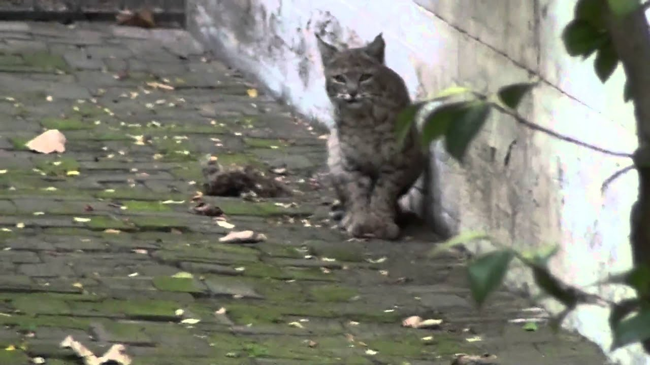 Bobcat sighting in Southern California  YouTube