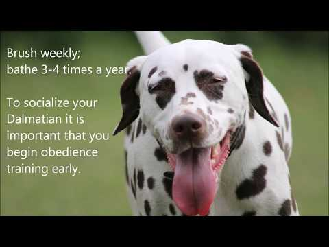 10 Fun Facts about Dalmatians