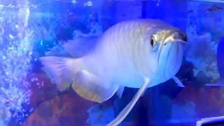 Video Fish Arwana GOlden Red Banjar download MP3, 3GP, MP4, WEBM, AVI, FLV November 2018