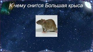 К чему снится Большая крыса (Сонник)