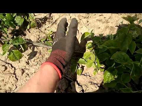Выращиваем вегетативные подвои ВСЛ 2, S1, 62 396, 54 118