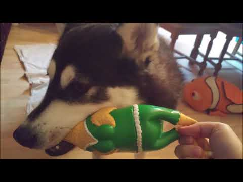 Alaskan Malamute playing around with the Chicken