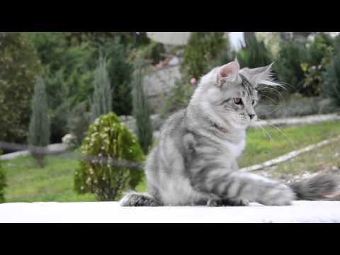 Maine Coon poly kitten Zurbagan,  4,5 months from ALLEGIANCELOVE cattery