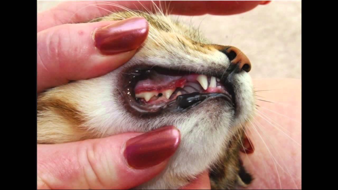 Adult cat teeth
