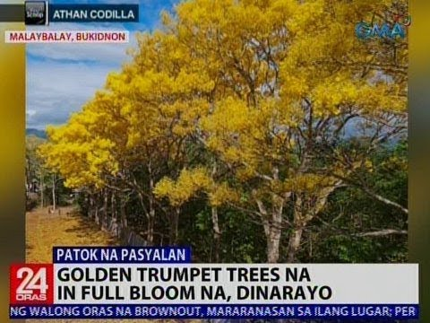 24 Oras: Golden Trumpet Trees na in full bloom na, dinarayo