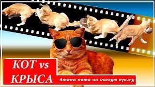 Фото Атака кота на  наглую крысу