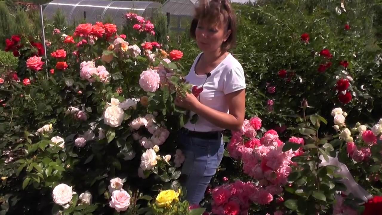 Как правильно обрезать розы в саду, В цветнике ()