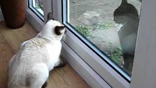 Siamese cat sam talking growling and hissing at our neighbour cat!