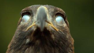 Грозный, бесстрашный и коварный властелин неба - ОРЕЛ В ДЕЛЕ! смотреть онлайн в хорошем качестве - VIDEOOO