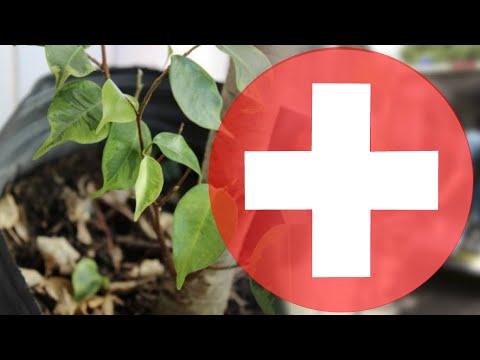 ОСЫПАЮТСЯ ЛИСТЬЯ У ФИКУСА 😱 ЧТО ДЕЛАТЬ? Простой способ остановить листопад 🙅