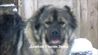 Любит ли играть кавказская овчарка? Зимнее утро в питомнике Домбай-Ульген.