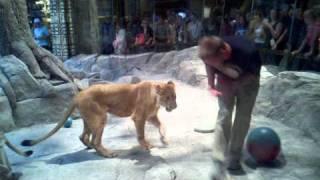 Las Vegas - MGM Grand - Lion Show