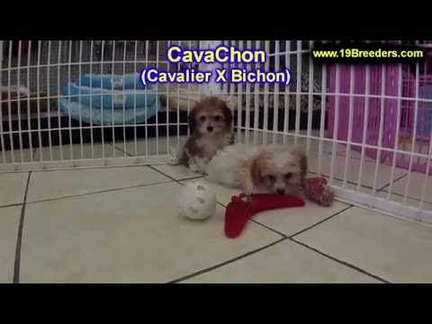 CavaChon, Puppies, For, Sale, In, Badger, County, Alaska, Ak, Kink Fairview, College