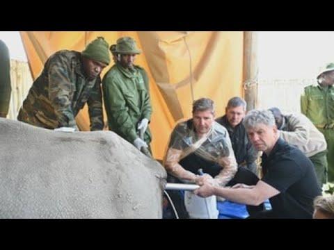 Científicos extraen óvulos de rinoceronte blanco para intentar salvar especie