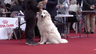 Great Pyrenees at French Dog Show (Toulouse 2020 Expo Canine)