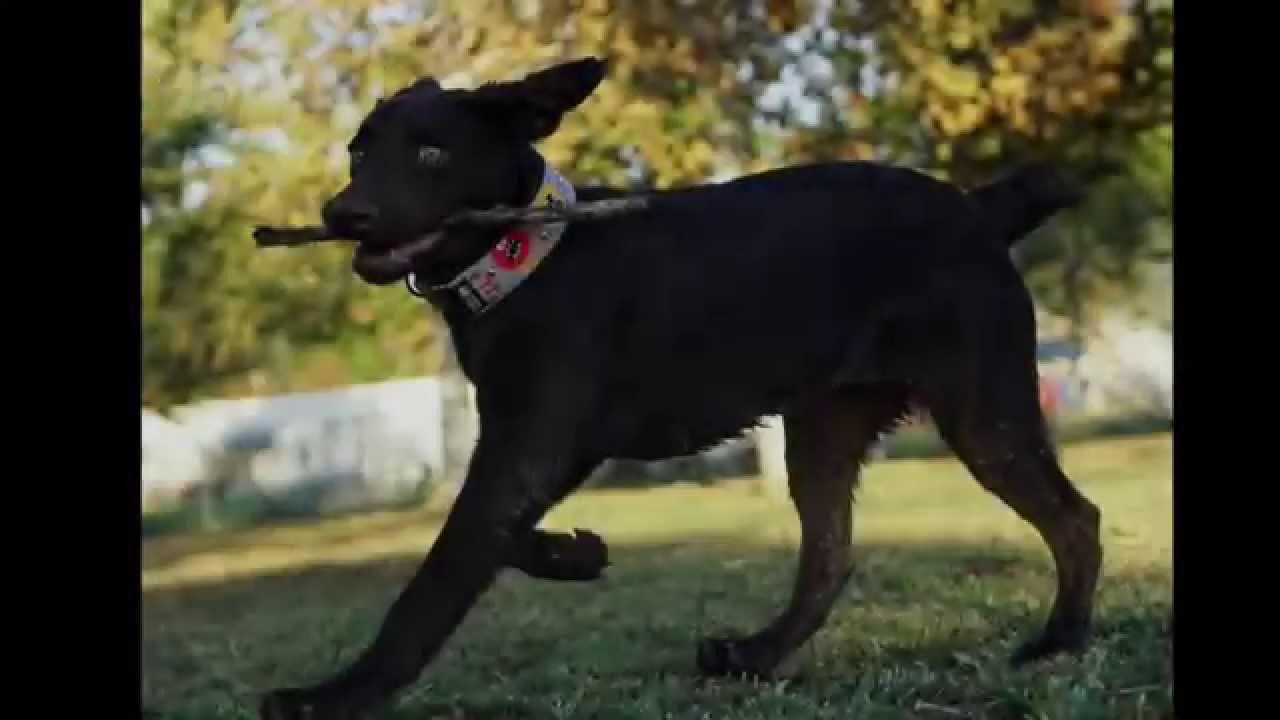 Cute Dog Video - Labrador, Great Dane, Dalmatian, puppy