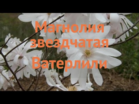 Магнолия звездчатая Ватерлили (magnolia stellata) �� обзор: как сажать, саженцы магнолии Ватерлили