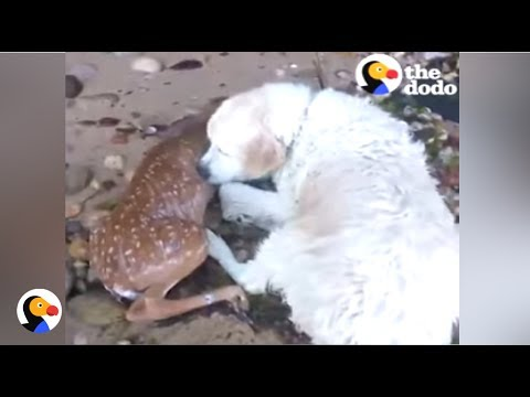 BRAVE Dog Saves Deer From Drowning | The Dodo