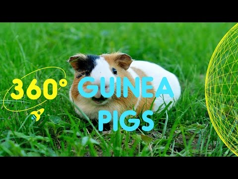 Meet the Guinea Pigs in Spitalfields City Farm | 360 Degrees for Kids