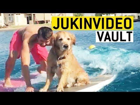 Golden Retriever Video