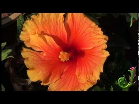 AMARYLLIS - Awesome and nice beautiful flowers - Amazing flowers