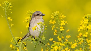 Beautiful Music, Relaxing Music, Peaceful Instrumental Music Birds of the Forest' by Tim Janis