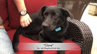 "Shepherd/Lab Mix Puppy ""Clove"" 