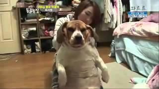 Beagle lose weight