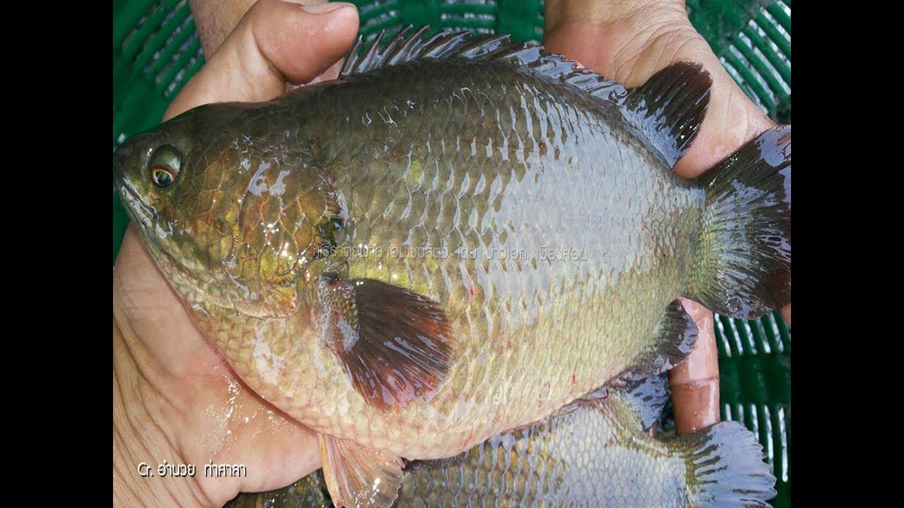 ผสมอาหารปลาหมอ ลดต นท น อำนวย ท าข น ความยาว 6 นาท Youtube กบ ก ง