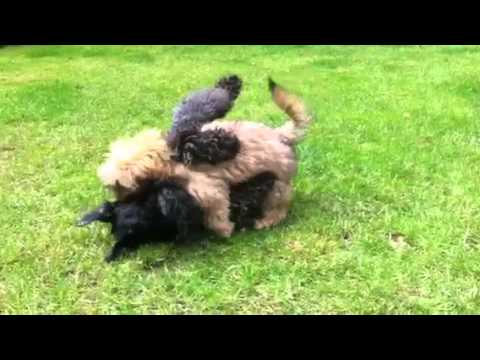 Puppys playing! Shih tzu cross poodle & kerry blue terrier