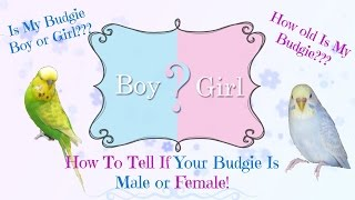 How To Tell If Your Budgie Is Male or Female - As Well As Age
