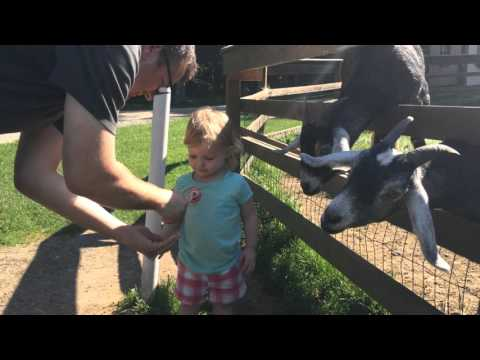 Goats Can't Wait to Eat From a Girl's Hand